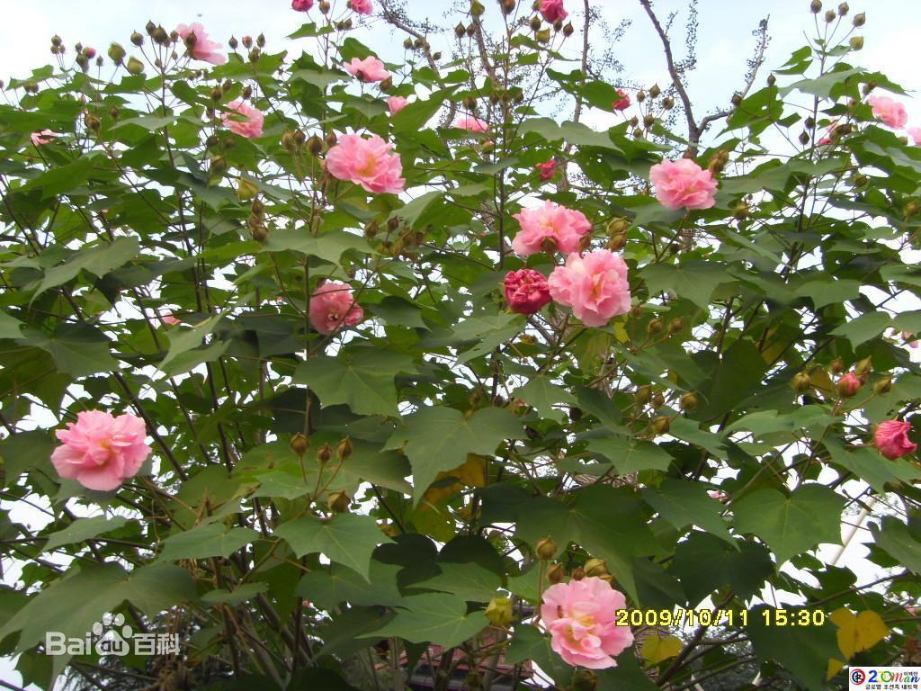 木芙蓉图片_百度百科: http://baike.baidu.com/picture/59653/12089156/315695/0db2c9ca3c12ec16f31fe70f