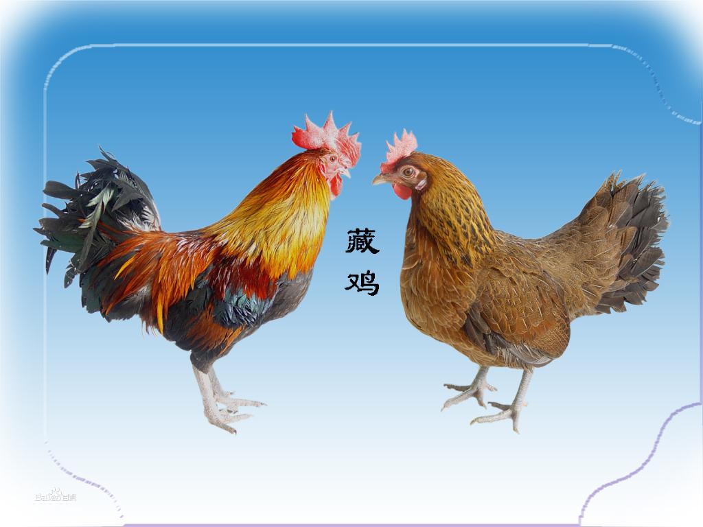 黄色片色鸡鸡_主尾羽和大镰羽均为黑绿色,梳羽,蓑羽均为红色或金黄色镶边黑羽,鸡体