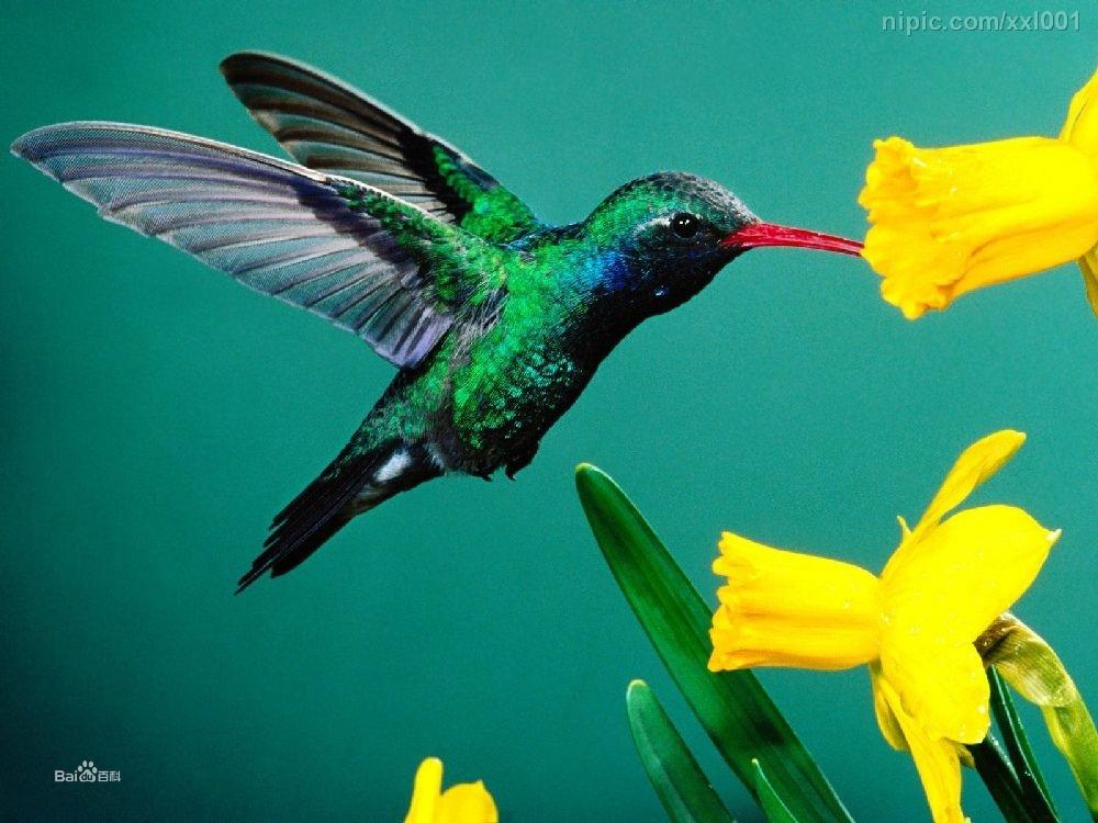 因此,即便花就在脚边,雄性巨尾鸟(蜂鸟的一种)通常在白天也很少进食
