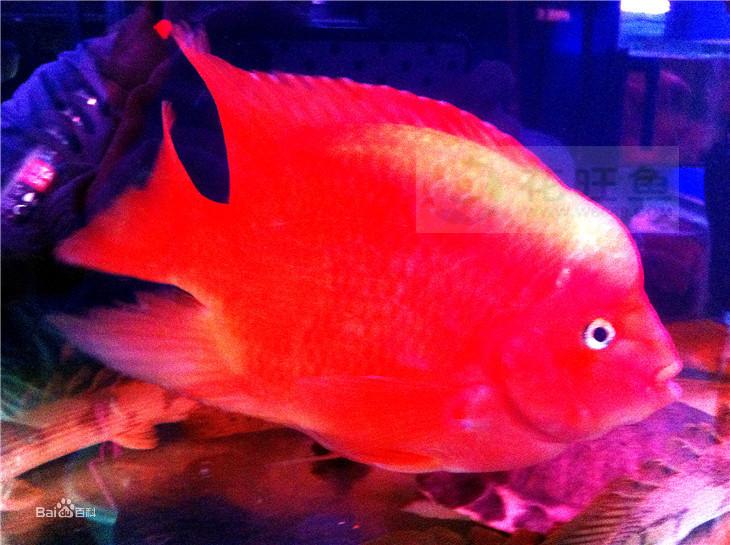 金刚鹦鹉鱼图片
