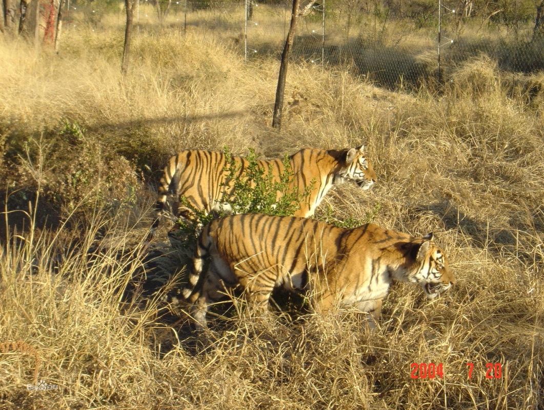食肉动物--老虎图片