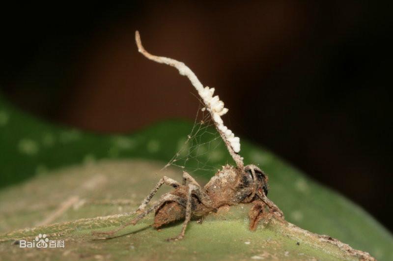 - Champignon qui pousse sur les arbres ...