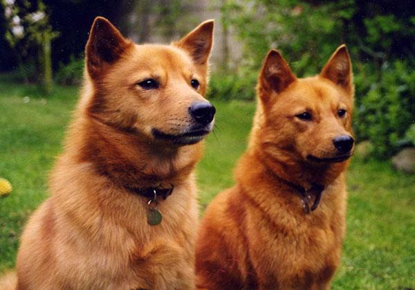 芬兰波美拉尼亚丝毛狗就是芬兰狐狸犬,头部轮廓整洁,像狐狸.