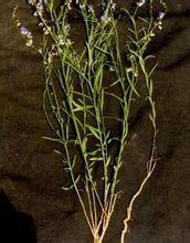 细叶远志-植物形态