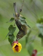 白肋刺花鸟