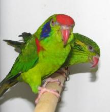 红斑吸蜜鹦鹉