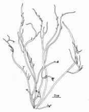 粗江蓠的藻体外形