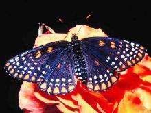 各种各样绢蝶