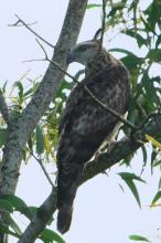 褐冠鹃隼(图2)