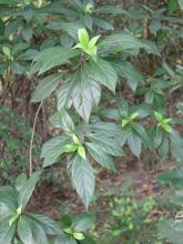 海岸桐族毛茶属植物:毛茶植物形态
