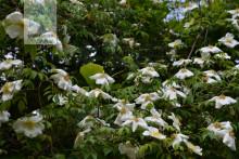 大花香水月季(中国植物图像库)
