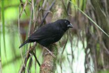 圣卢西亚黑雀