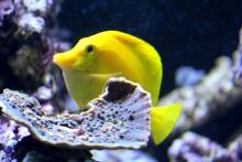 黄高鳍刺尾鱼