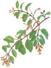桑寄生-植物性状