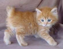美国短尾猫图集