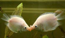 接吻鱼形态图