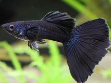 单色孔雀鱼(Guppy solid)