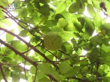 橙桑属植物