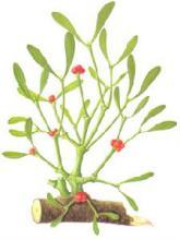 桑寄生-原植物性状