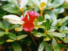 滇藏杜鹃(原变种)