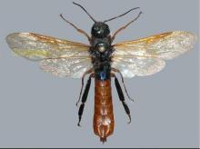 匈牙利树蜂