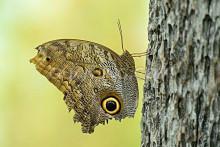 猫头鹰蝴蝶