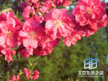 京桃——花