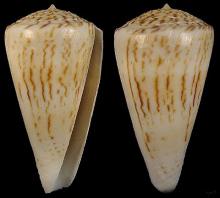 贝洛克芋螺