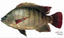 罗非鱼图片合集
