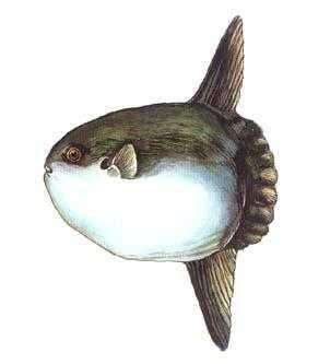 摄食海藻,软体动物,水母,浮游甲壳类及小鱼等.图片