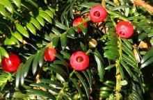 红豆杉种子如何处理