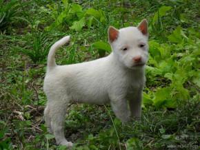 下司猎犬贵州下司犬价格 猎犬图片 图片免费看高清图片