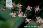 短茎隔距兰花果
