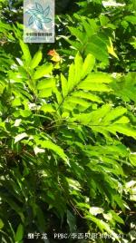 细子龙枝叶