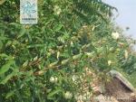 咖啡黄葵花果