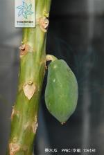 番木瓜根茎