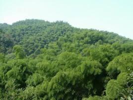 其中:毛竹0.7万亩,21.44万株,最高达15米,胸径14~18厘米;水竹1.图片