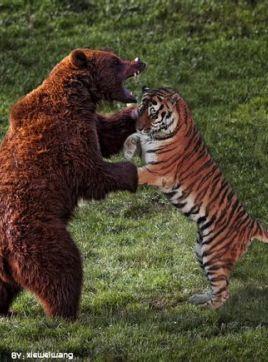 老虎战棕熊图片