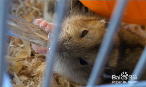 怎么给小仓鼠洗澡视频