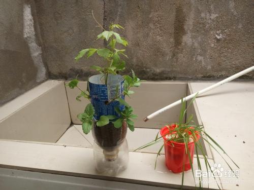 利用矿泉水瓶 做花盆 种植花草图片