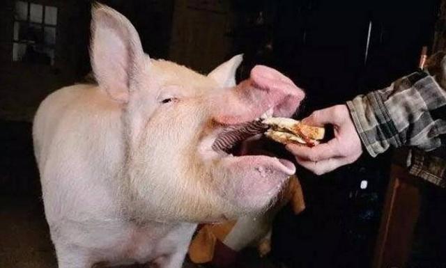 梦到猪会笑还会撒娇