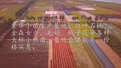 红叶石楠-浙江大杯(小杯苗)产地