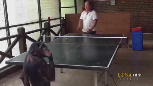 男子与黑猩猩打乒乓球被秒杀 猩猩转身卖萌表情醉了