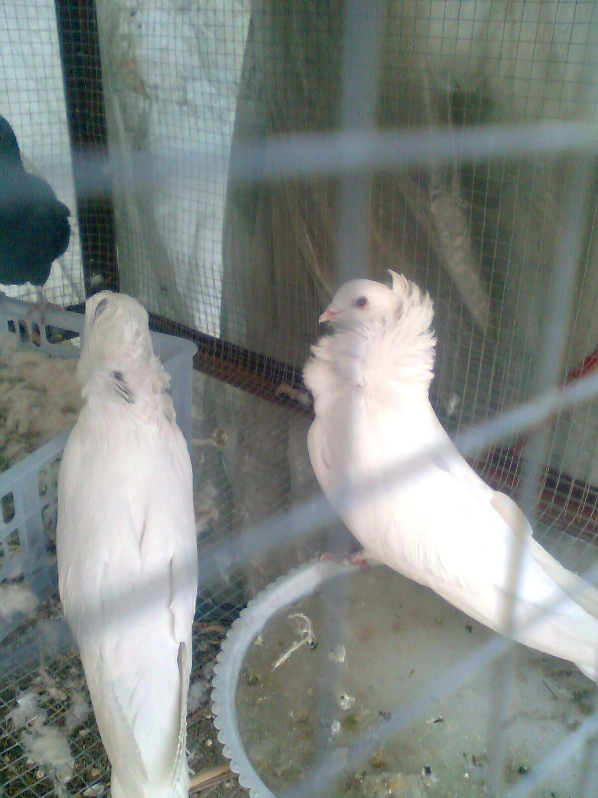 故事鸽鸽子鸟鸟类1200_1600竖版竖屏老虎动物桔子图片