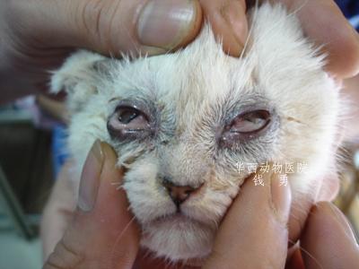 小猫疱疹病毒怎么治