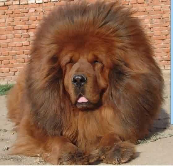 哪个狗长得像狮子