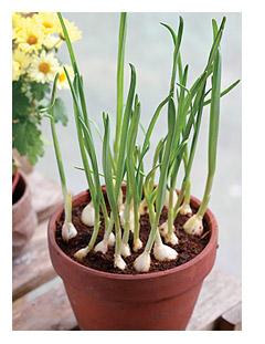 盆栽大蒜种植时间
