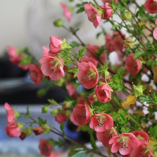 木槿花怎么繁殖