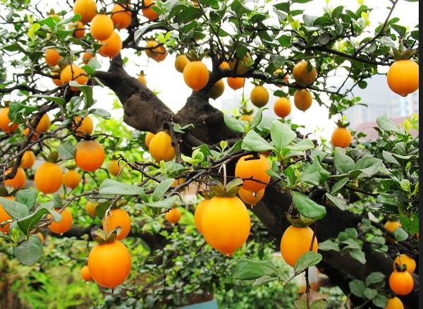 金弹子树桩果实着色成熟相关因素讲解 减缓成熟也能挂果久一点