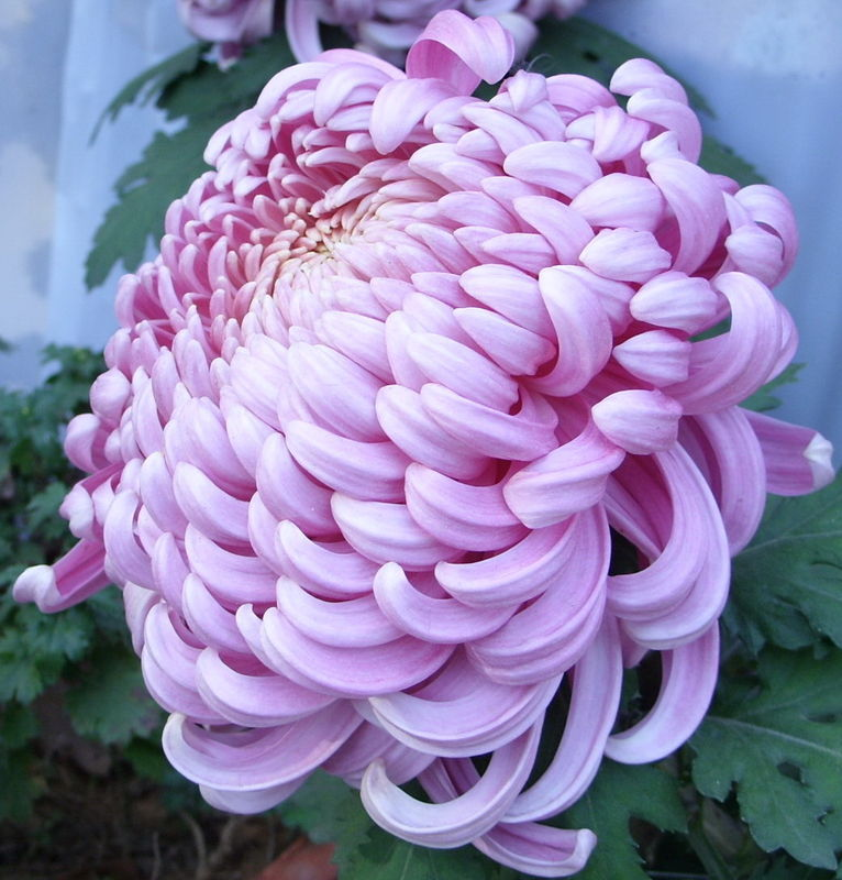 菊花的图片,开花的季节和形状